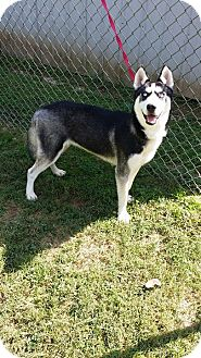 Husky Mix Dog for adoption in Cannelton, Indiana - Prince