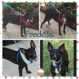 Miniature Pinscher/Terrier (Unknown Type, Medium) Mix Puppy for adoption in Homestead, Florida - Freddie