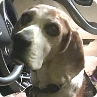 Beagle Mix Dog for adoption in Las Vegas, Nevada - JT