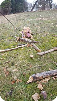Pit Bull Terrier Mix Dog for adoption in Port Huron, Michigan - Moses