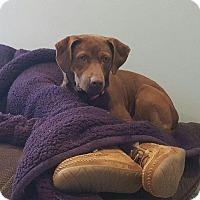 Adopt A Pet :: Lucky - pending - Manchester, NH