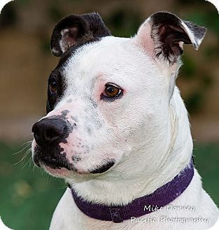 American Staffordshire Terrier Dog for adoption in Westminster, California - Jellie