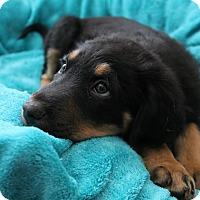 Adopt A Pet :: Katie's Puppy 1 - Pompton Lakes, NJ