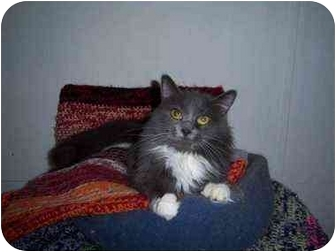 Domestic Mediumhair Cat for adoption in Proctor, Minnesota - Sabrina
