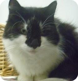 Domestic Shorthair Cat for adoption in Hamburg, New York - Murphy