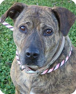 American Pit Bull Terrier Mix Dog for adoption in Red Bluff, California - Donna-$45 Adoption Fee