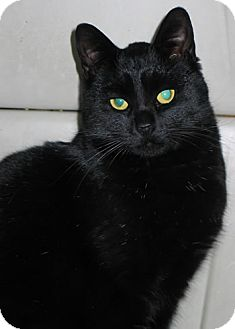 American Shorthair Cat for adoption in Olmsted Falls, Ohio - Violet-COURTESY POST