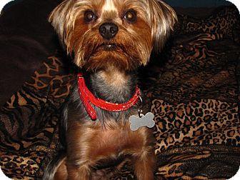 Yorkie, Yorkshire Terrier Dog for adoption in Hazard, Kentucky - Jack