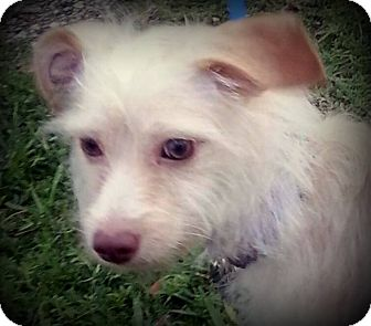 Terrier (Unknown Type, Small) Mix Dog for adoption in Miami, Florida - Buddy