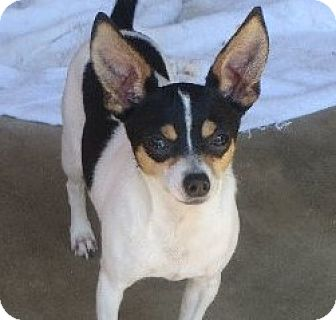 Chihuahua Mix Dog for adoption in Salem, New Hampshire - Bing