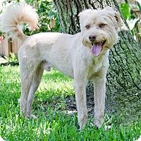 Adopt A Pet :: Scruffy - Norwalk, CT