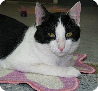 Domestic Shorthair Cat for adoption in New Kensington, Pennsylvania - Murphy
