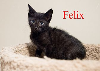 Domestic Shorthair Cat for adoption in Baltimore, Maryland - Felix