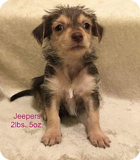 Yorkie, Yorkshire Terrier/Tibetan Terrier Mix Puppy for adoption in Concord, California - Jeepers