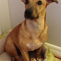 Terrier (Unknown Type, Medium) Mix Dog for adoption in West Palm Beach, Florida - Gwen