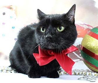 Domestic Shorthair Cat for adoption in Harrisonburg, Virginia - Henry