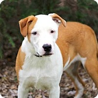 Adopt A Pet :: RED RUSSELL - Franklin, TN
