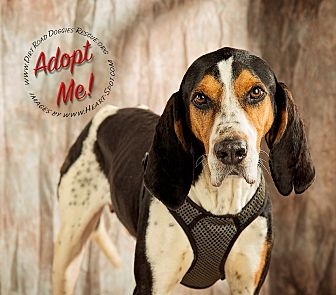 Treeing Walker Coonhound Dog for adoption in Gillsville, Georgia - Cole