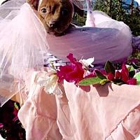 Adopt A Pet :: Priscilla Puggles - Brattleboro, VT