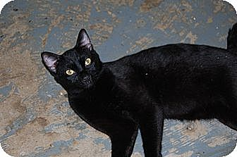 American Shorthair Cat for adoption in Jackson, Mississippi - Smith