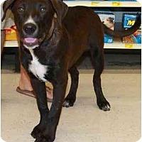 Adopt A Pet :: Hauss - Gilbert, AZ