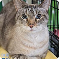 Adopt A Pet :: Baloo - Merrifield, VA