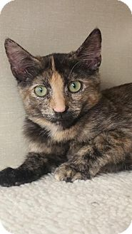 Domestic Shorthair Kitten for adoption in Walnut Creek, California - Melisandre