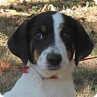 Adopt A Pet :: Macaroon - Allentown, PA