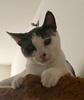 Domestic Shorthair Cat for adoption in Toms River, New Jersey - Logan