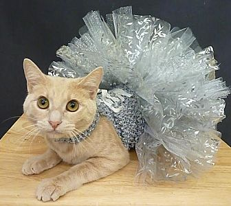 Domestic Shorthair Cat for adoption in League City, Texas - Ginger