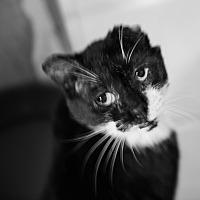 Adopt A Pet :: Jonnie-Linden - Queens, NY