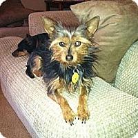 Adopt A Pet :: Buttercup - Goodyear, AZ