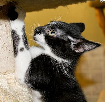 Domestic Shorthair Kitten for adoption in Columbus, Ohio - Claire