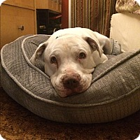 Pit Bull Terrier Mix Dog for adoption in Los Angeles, California - Lovey