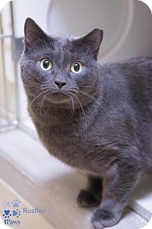 Russian Blue Cat for adoption in Merrifield, Virginia - Rustler