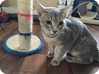 Domestic Shorthair Cat for adoption in Bakersfield, California - Horus
