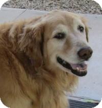 Golden Retriever Mix Dog for adoption in Scottsdale, Arizona - Sierra