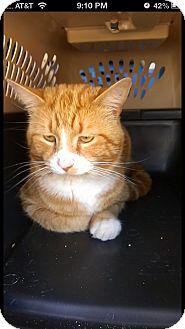 Domestic Shorthair Cat for adoption in Aiken, South Carolina - Milo