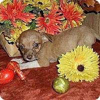 Adopt A Pet :: Chi-weenie - Chandlersville, OH