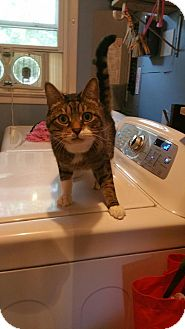 Domestic Shorthair Cat for adoption in Palmyra, New Jersey - Benny