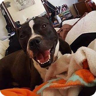 American Pit Bull Terrier Dog for adoption in Roanoke, Virginia - Mack