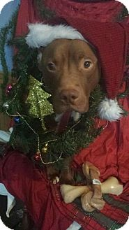 Pit Bull Terrier Dog for adoption in Foristell, Missouri - Homie