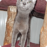 Adopt A Pet :: LAPIS - LOVELY RUSSIAN BLUE - Plano, TX
