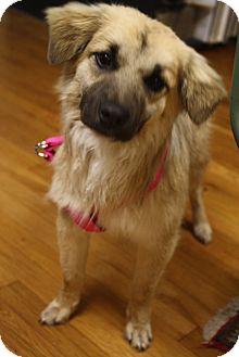 Australian Shepherd/Sheltie, Shetland Sheepdog Mix Dog for adoption in Marietta, Georgia - Carmen