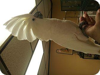 Cockatoo for adoption in Punta Gorda, Florida - Nani