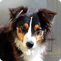 Adopt A Pet :: Sheena - Garland, TX
