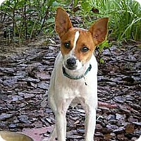 Rat Terrier/Jack Russell Terrier Mix Dog for adoption in Terra Ceia, Florida - MILO - www.almosthomeflorida.c