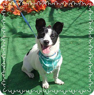 Jack Russell Terrier Mix Dog for adoption in Marietta, Georgia - CALLIE