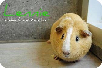 Guinea Pig for adoption in Hamilton, Ontario - Lennie