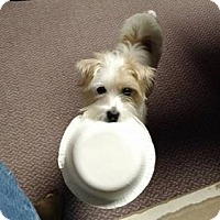 Jack Russell Terrier/Shih Tzu Mix Dog for adoption in Nicholasville, Kentucky - Pippi